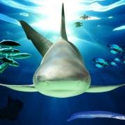 Омичи увидят настоящих акул
