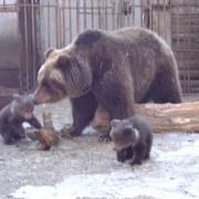 Омичам покажут маленьких медвежат